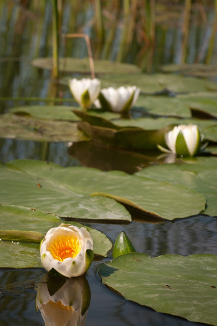 Water lilies in Parches, Upper Delta, Romania