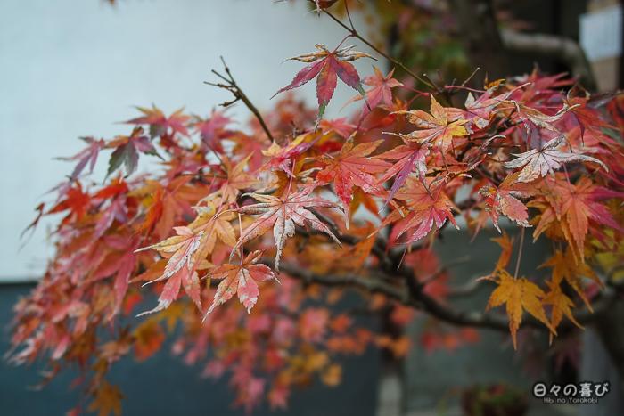 Un momiji en automne, kinosaki onsen, Hyogo