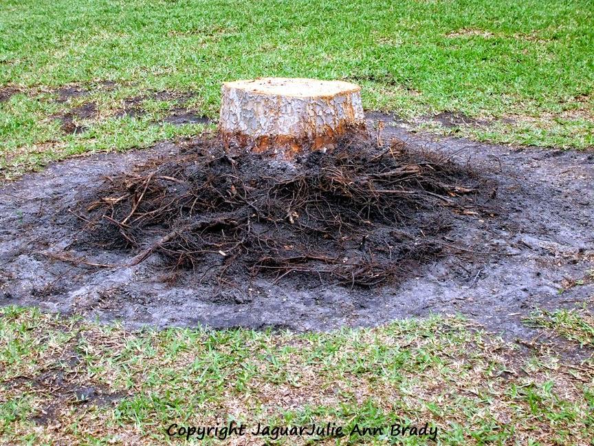 Drake Chinese Elm Tree Stump - Awaiting Removal