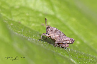 Long-horned Groundhopper (Tetrix tenuicornis)