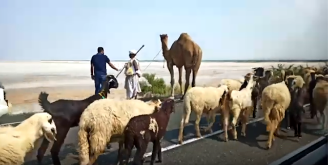 Herd of sheep and goats, and two men leading the herd and a camel