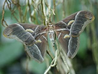 Bombyx de l'Ailanthe - Samia cynthia - Philosamia cynthia