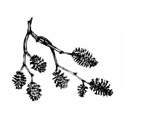 alder seeds, black and white sketch, Anne Butera, My Giant Strawberry