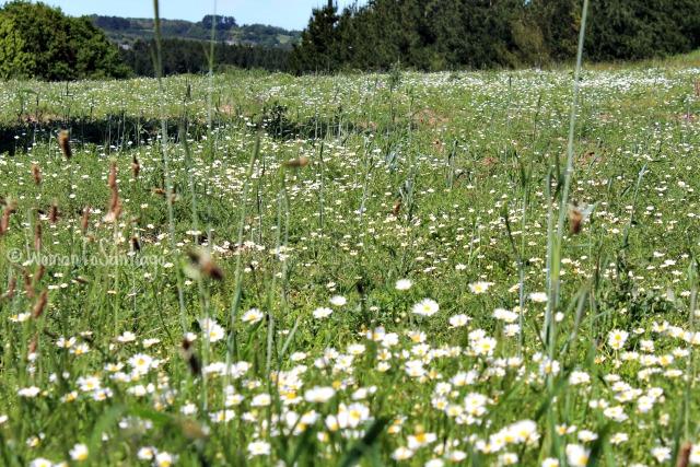 foto del campo y margaritas