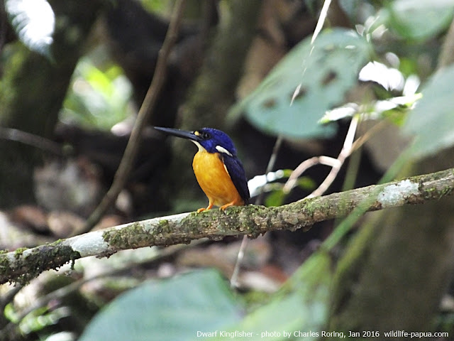 Azure Kingfisher on a vine above a small river in Sorong regency