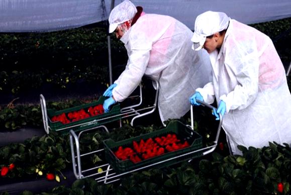 تارودانت24 - إجراءات جديدة لإنجاح عملية تصدير 20 ألف عاملة فلاحية إلى إسبانيا