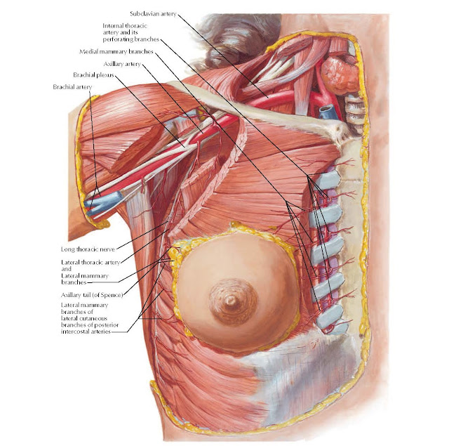 Arteries of Mammary Gland Anatomy