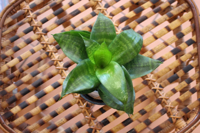 snake plant sanservieria