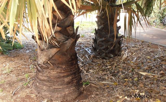 Tallo de PALMERA DE ABANICO AFRICANA Borassus aethiopum