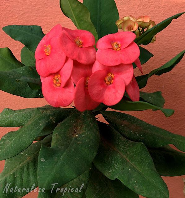 Floración de la planta Corona de Cristo, Euphorbia milii