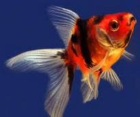 "Jenis Ikan koki Fantail "" Ekor Kipas "" cantik"