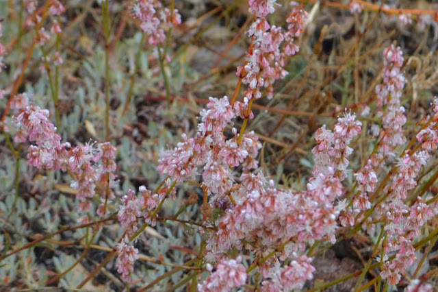 pink buckwheat flowers