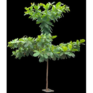 Bibit pohon ketapang