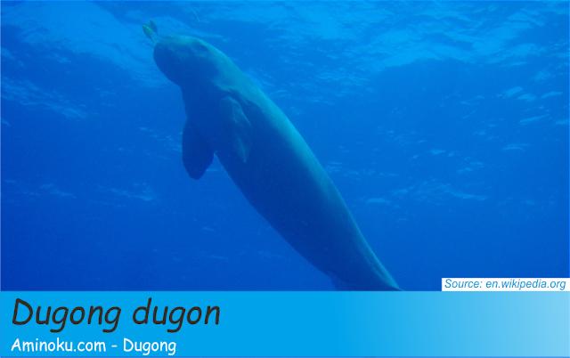 Fakta unik dugong