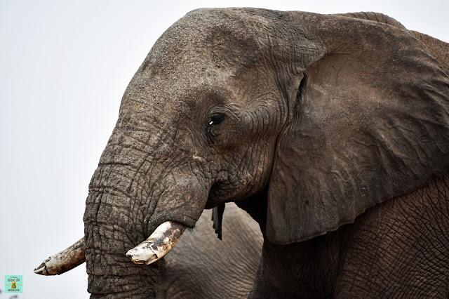 Elefante en Savuti, Botswana