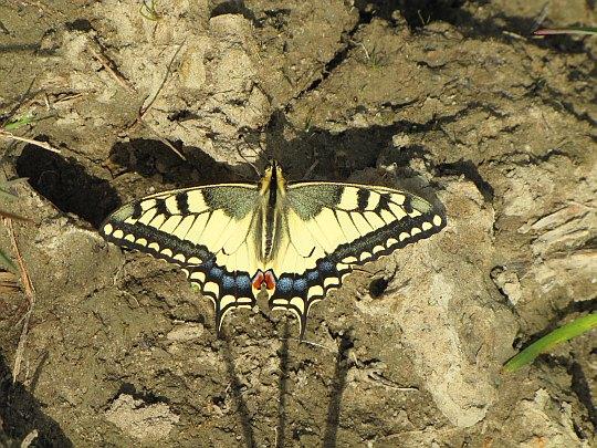 Paź królowej (Papilio machaon).