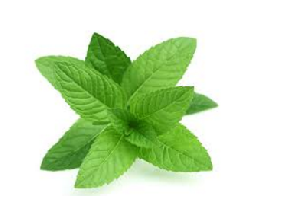 Peppermint or pudina Herb