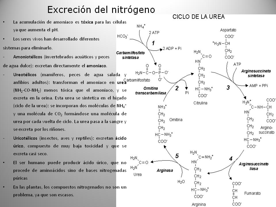 Biología 2º bachillerato.: EL METABOLISMO I: ANABOLISMO