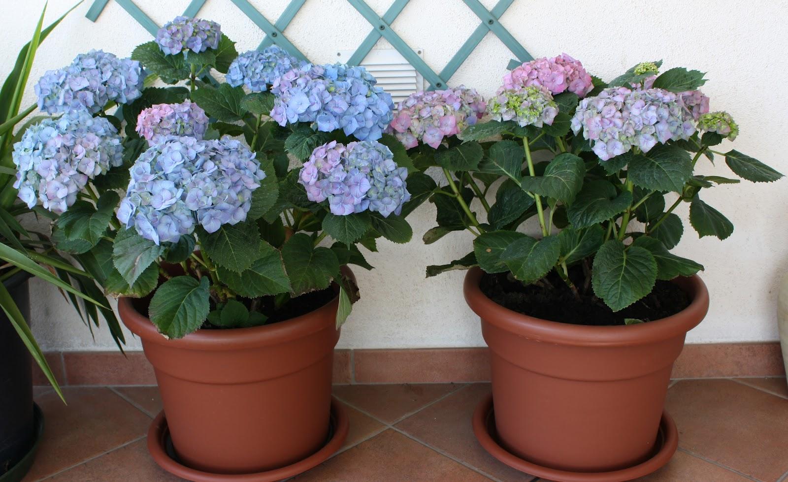 Come Curare Le Ortensie curare le ortensie in vaso. trendy non solo rose pagina