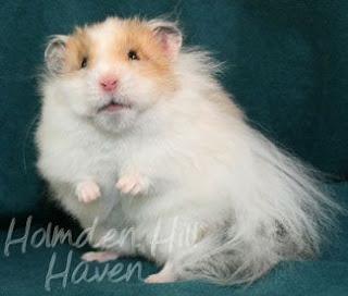 hamster sirio morfología