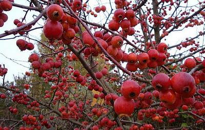 Melo everest il piccolo albero dei frutti ornamentali for Fiori ornamentali