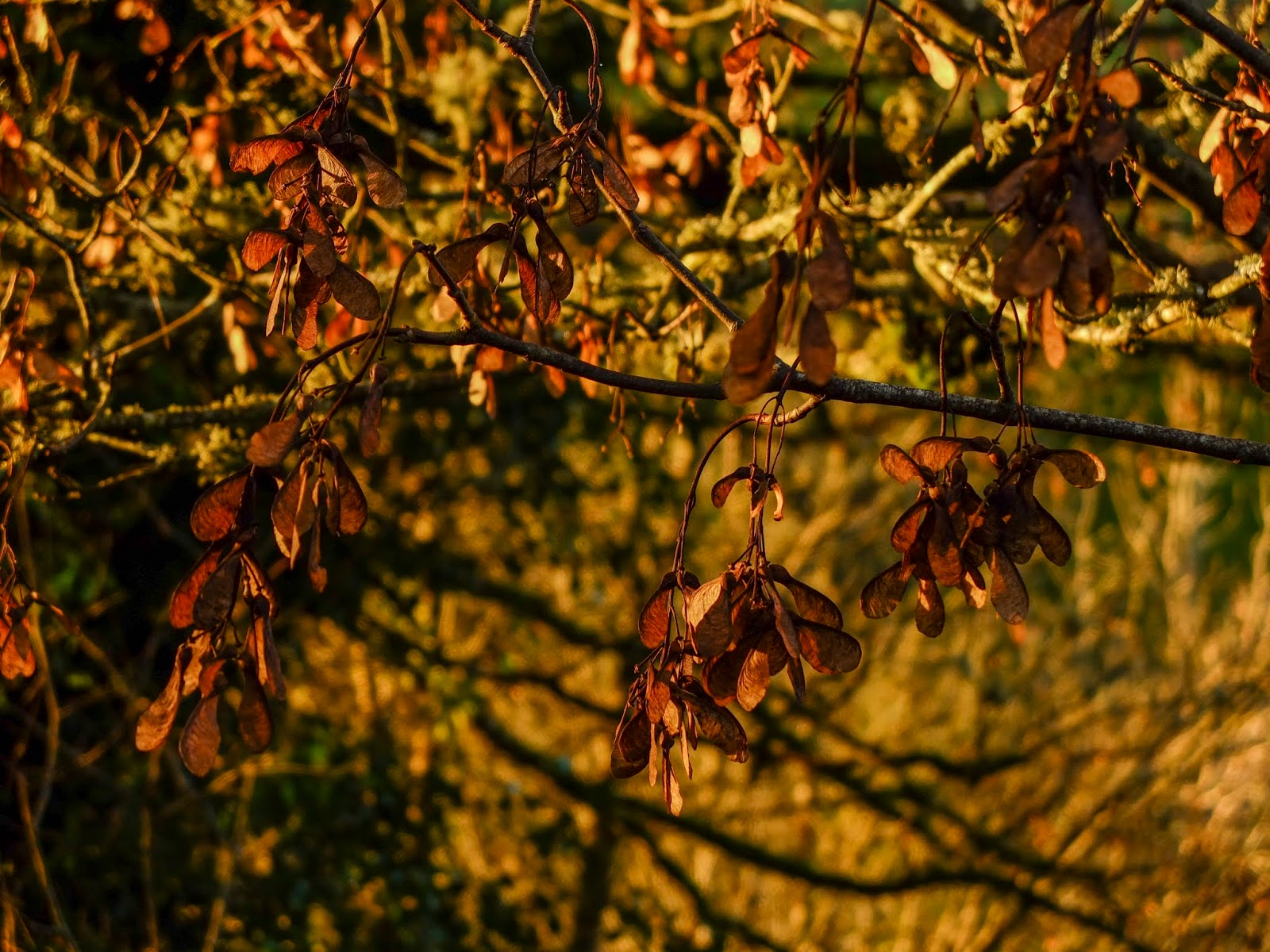 Sycamore Maple seeds hanging off branches during golden hour sunset.