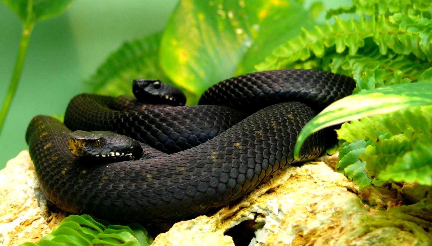 Black Mamba Snake Background Image Hd Wallpapers Of Snakes