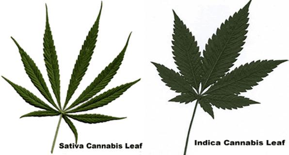 Addiction Inbox: Cannabis sativa vs. Cannabis indica: Science or ...