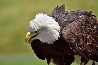 アメリカの国鳥ハクトウワシ写真