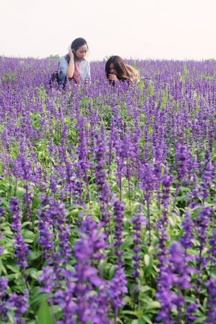 This is a photo about lavender field in Shanghai Disneyland and Disneytown created by Sidney Scarlett from www.sidneyscarlett.com