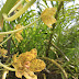 The largest orchid species in the world: Grammatophyllum speciosum