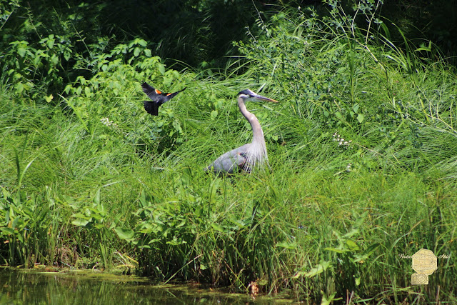 Annoyed - Heron And Red Winged Blackbird 2 Of 10