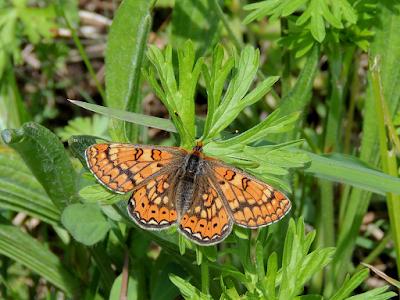 Euphydryas aurinia mariposa protegida