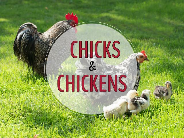 Chickens {Primary Flourish}