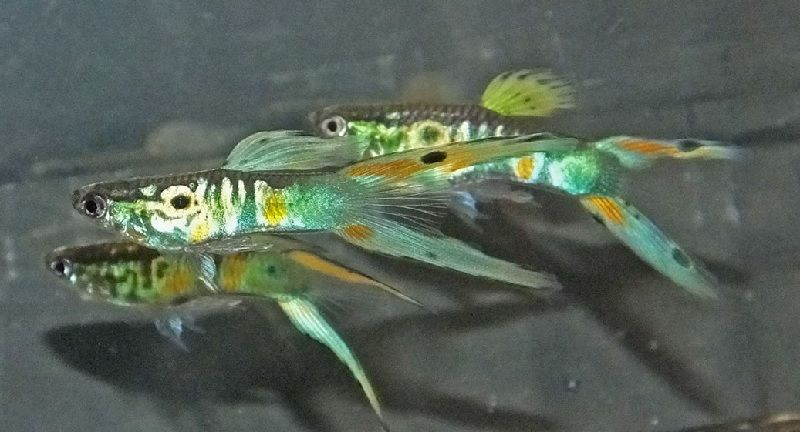 Gambar Gambar Ikan Guppy Double Swordtail