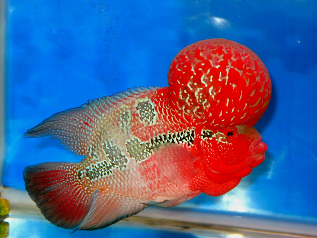 Super Red Dragon Flowerhorn Fish - Year of Clean Water