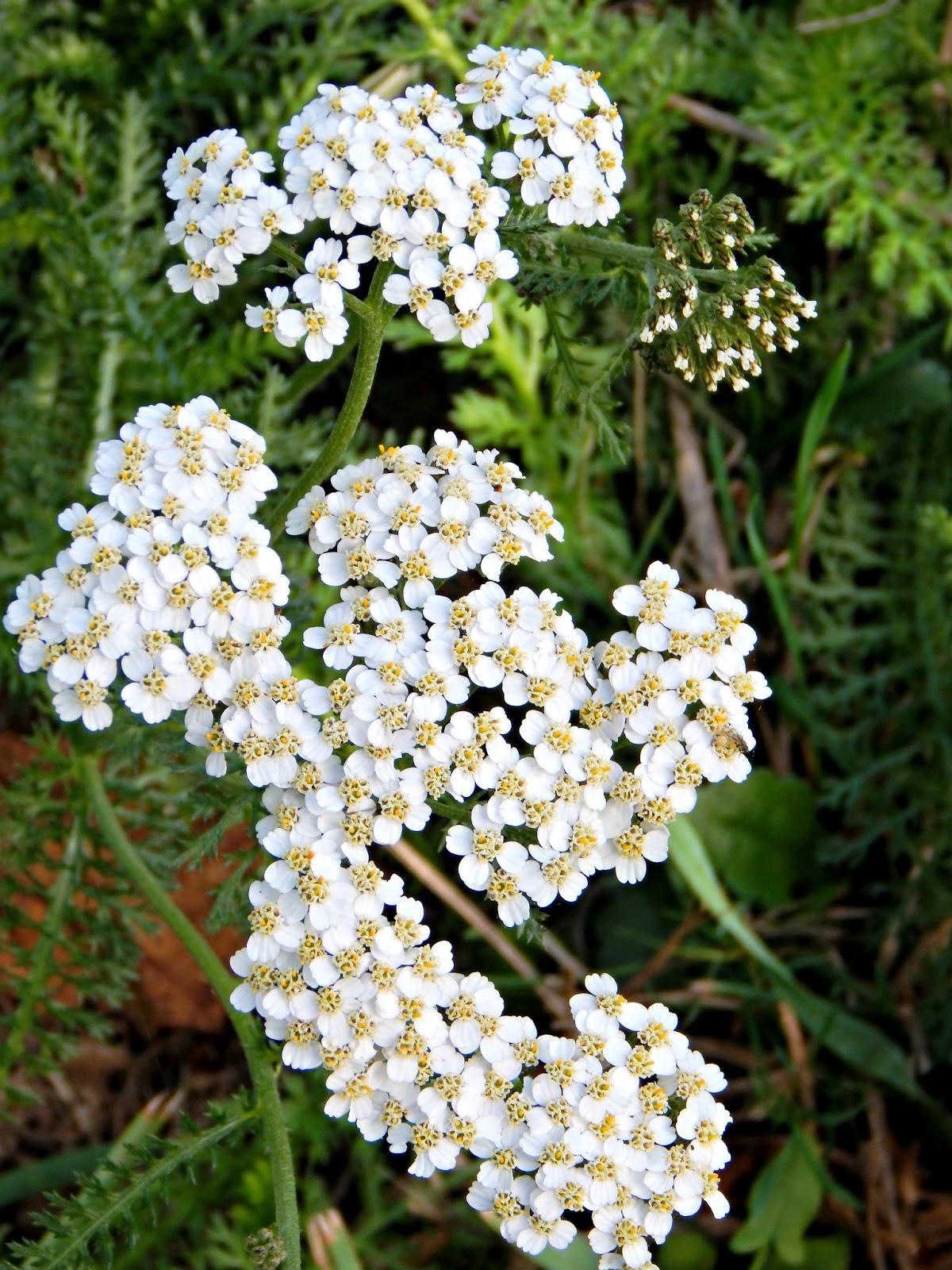 yarrow flower - photo #14