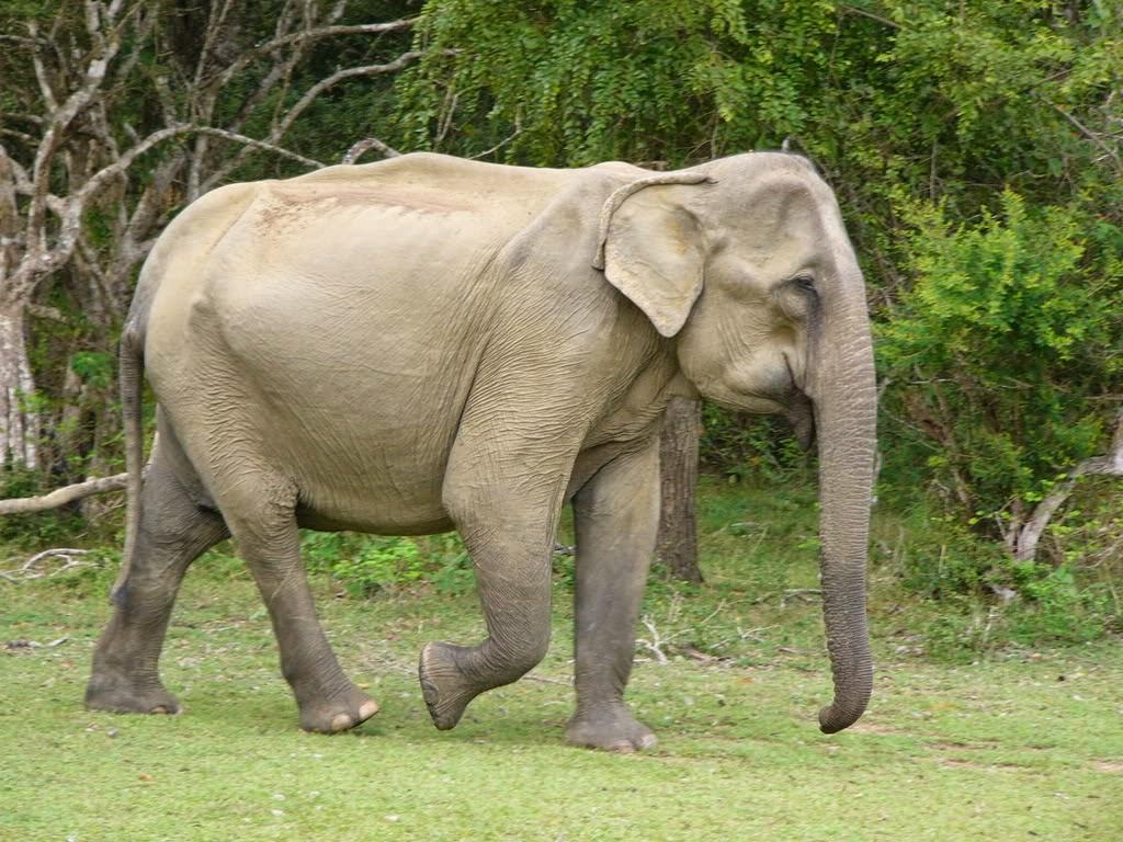 Animals Of The World Asian Elephant 2 2 Parte