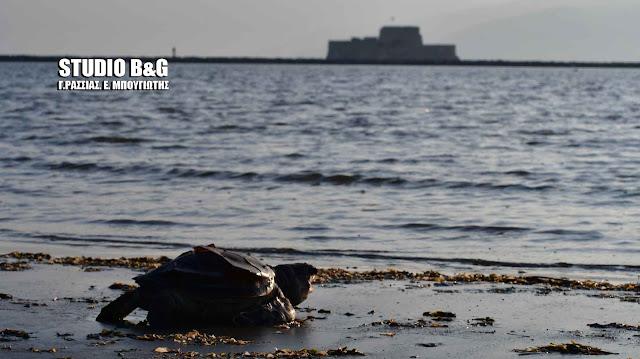 Νεκρή καρέτα-καρέτα στο Ναύπλιο - 600 νεκρές χελώνες εντοπίζονται κάθε χρόνο (βίντεο)