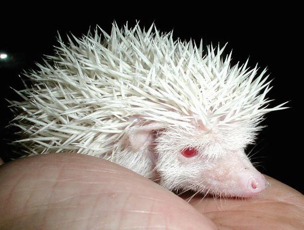Hedgehog Pet Price >> Exotic Wonderland: CUTE ALBINO HEDGEHOG LOOKING FOR NEW OWNER