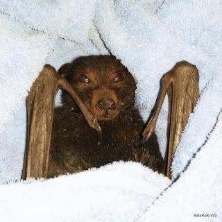 Rehab | Orphans | Tal'ngai Dha'run & Jackie Sparrow | Bats Megabats Grey-headed male & Little Red female (Flying-fox) (Fruit bat)