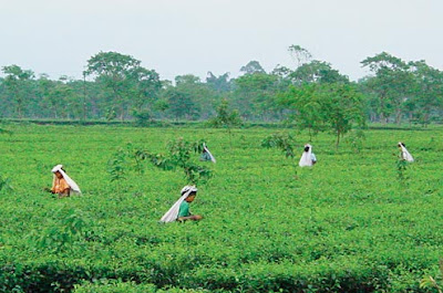 Tea Board of India introduced Tea price SMS system