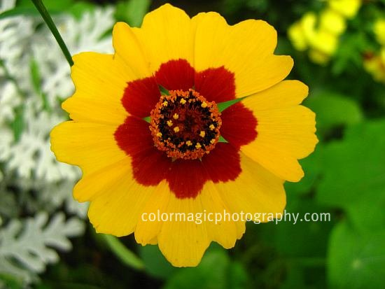 Plains coreopsis-tickseed close up