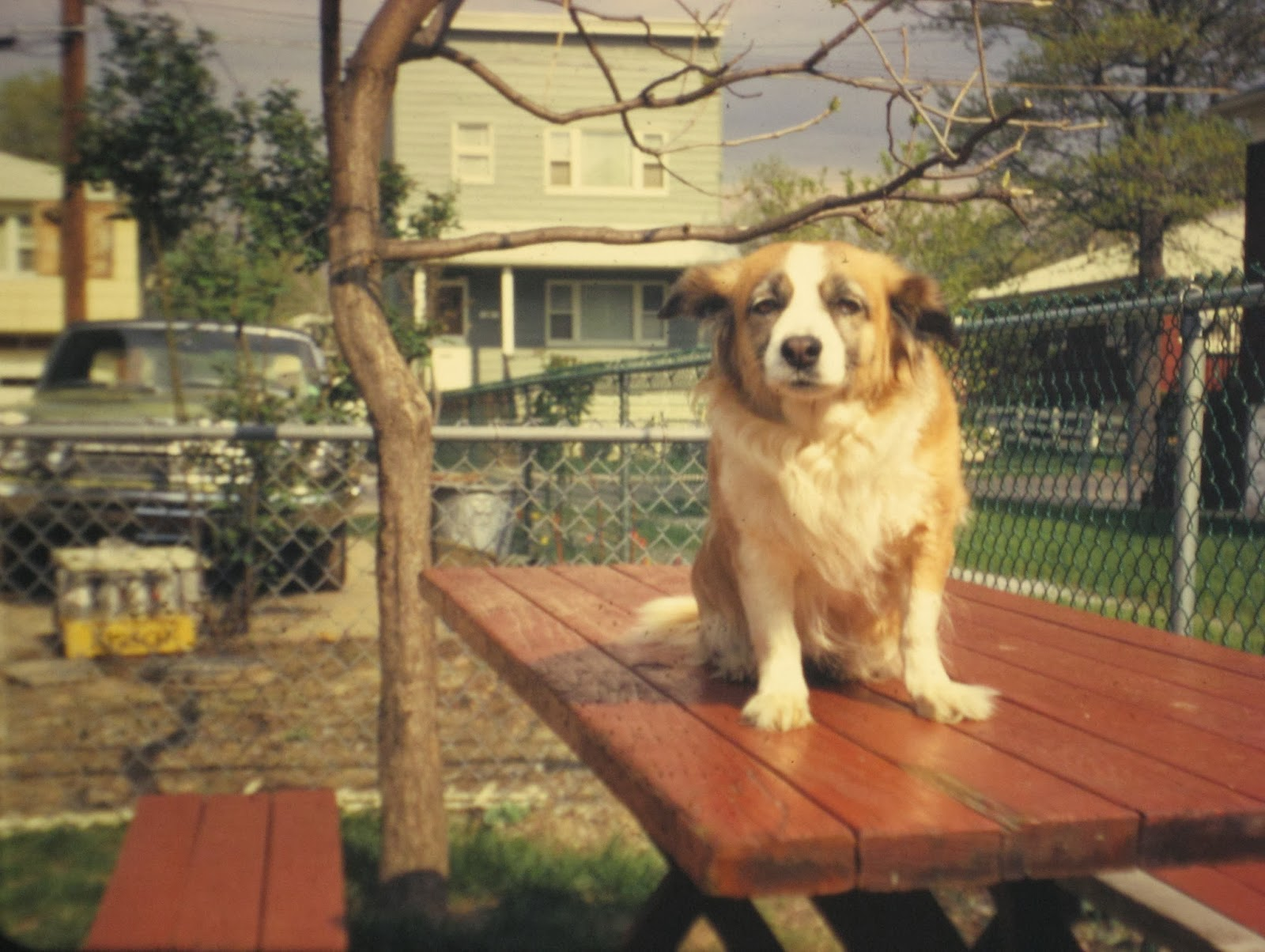 The picnic table we used with our dog Trixie standing on it July 1972