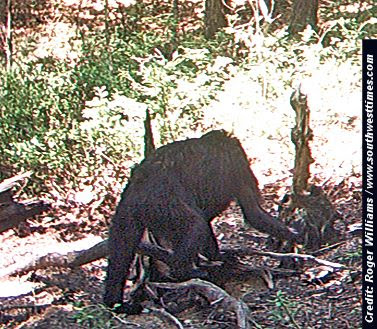 Is This Bigfoot? Unidentified Animal Seen On Trail Cam
