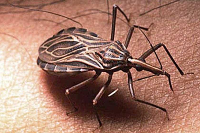 Resultado de imagen para Triatoma infestans