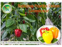 Menawan!! Budidaya Paprika Dalam Greenhouse