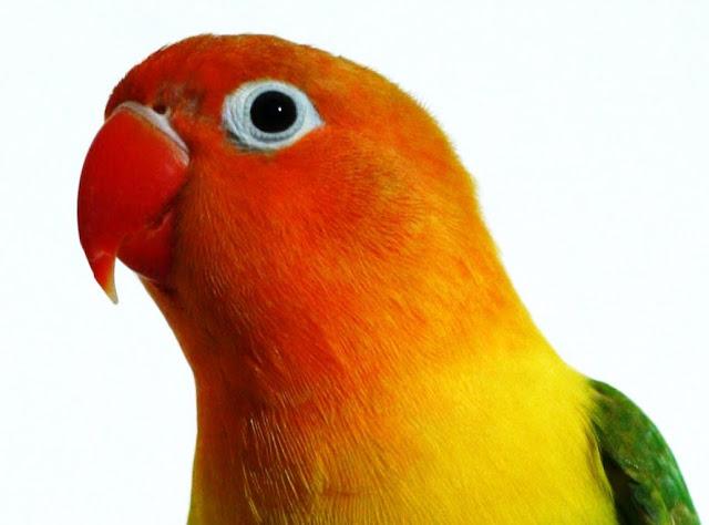 Perawatan Lovebird Menjelang Kontes