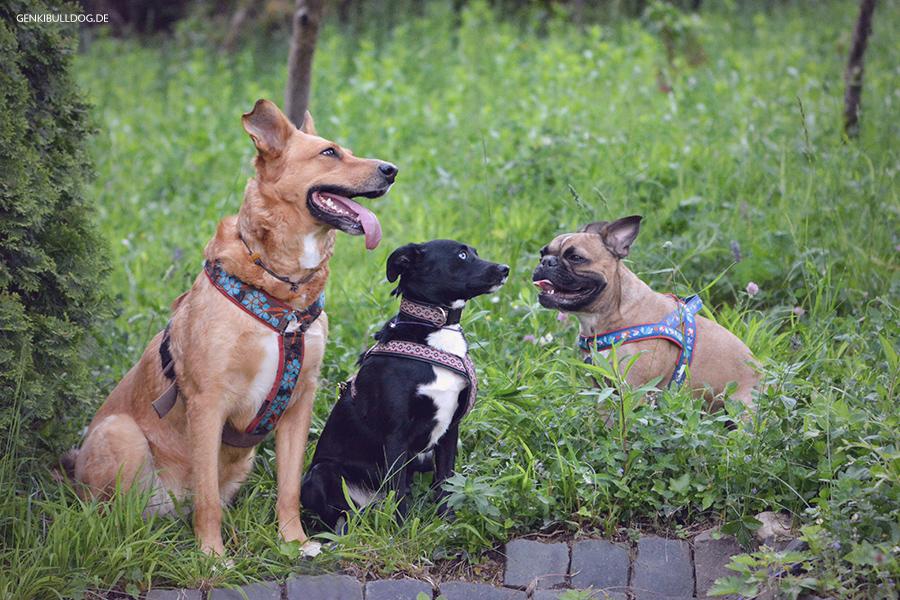 Hundeblog Genki Bulldog - Unter Freunden