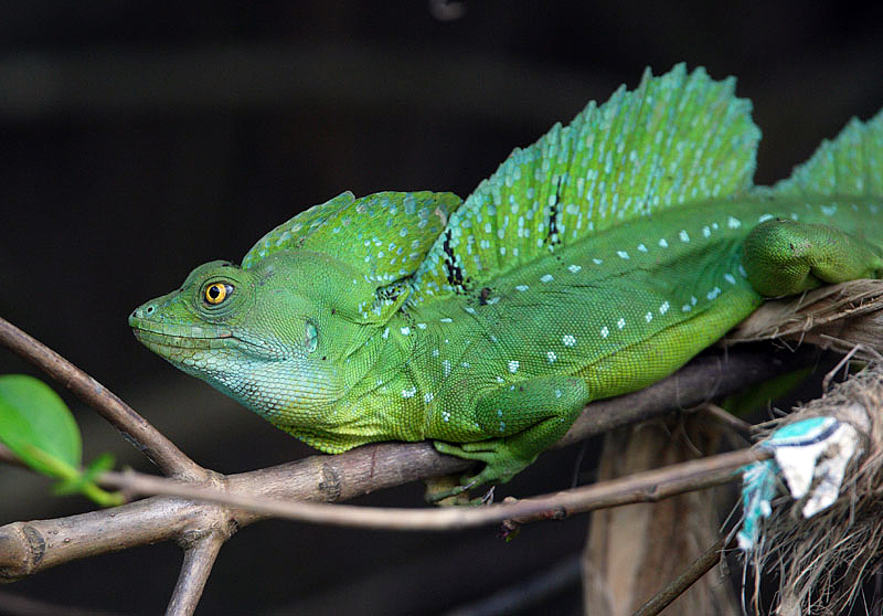 Plumed Basilisk | Animal Unique